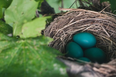 birds eggs in nest