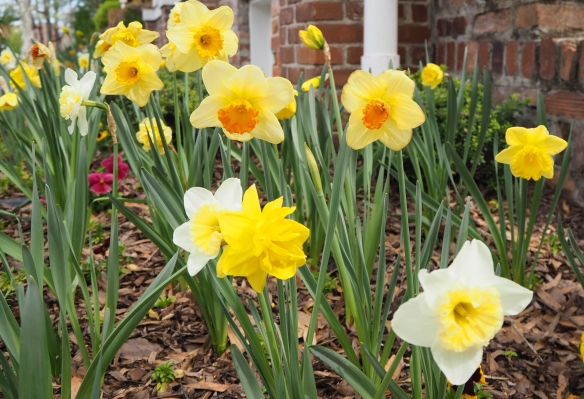 daffodil1-e1522857098148.jpg